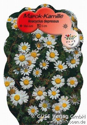 ringblume bei agel rosen online kaufen anacyclus depressus 39 silberkissen 39 wei stauden f r. Black Bedroom Furniture Sets. Home Design Ideas