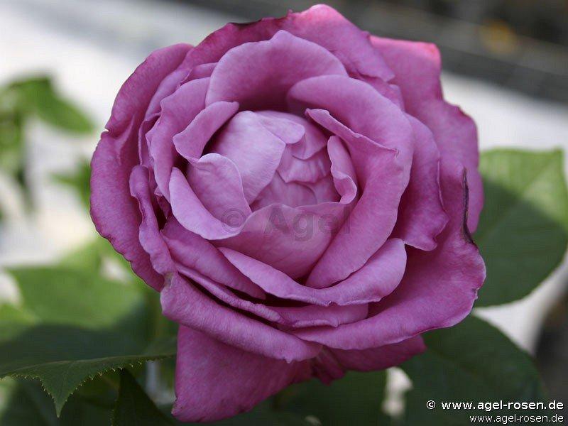 blue parfum beetrose kaufen bei agel rosen. Black Bedroom Furniture Sets. Home Design Ideas