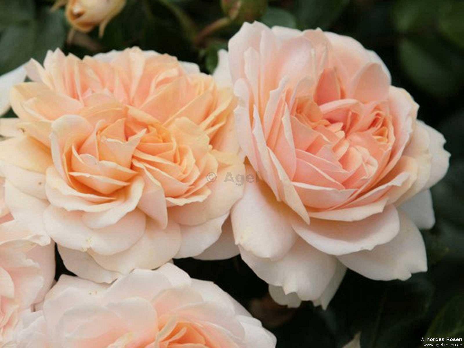 Garden Of Roses Syn. Cream Flower Circus ®