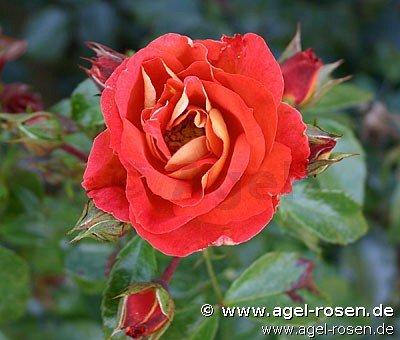 ADR-Rose 'Gebrüder Grimm' (3-Liter Topf)
