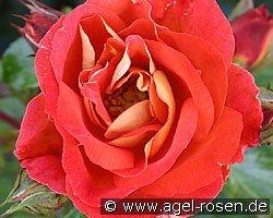 rose gebr der grimm online kaufen agel rosen. Black Bedroom Furniture Sets. Home Design Ideas