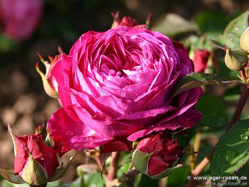 heidi klum rose beetrose kaufen bei agel rosen. Black Bedroom Furniture Sets. Home Design Ideas