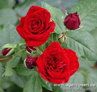 rose heinzelm nnchen online kaufen agel rosen 3. Black Bedroom Furniture Sets. Home Design Ideas