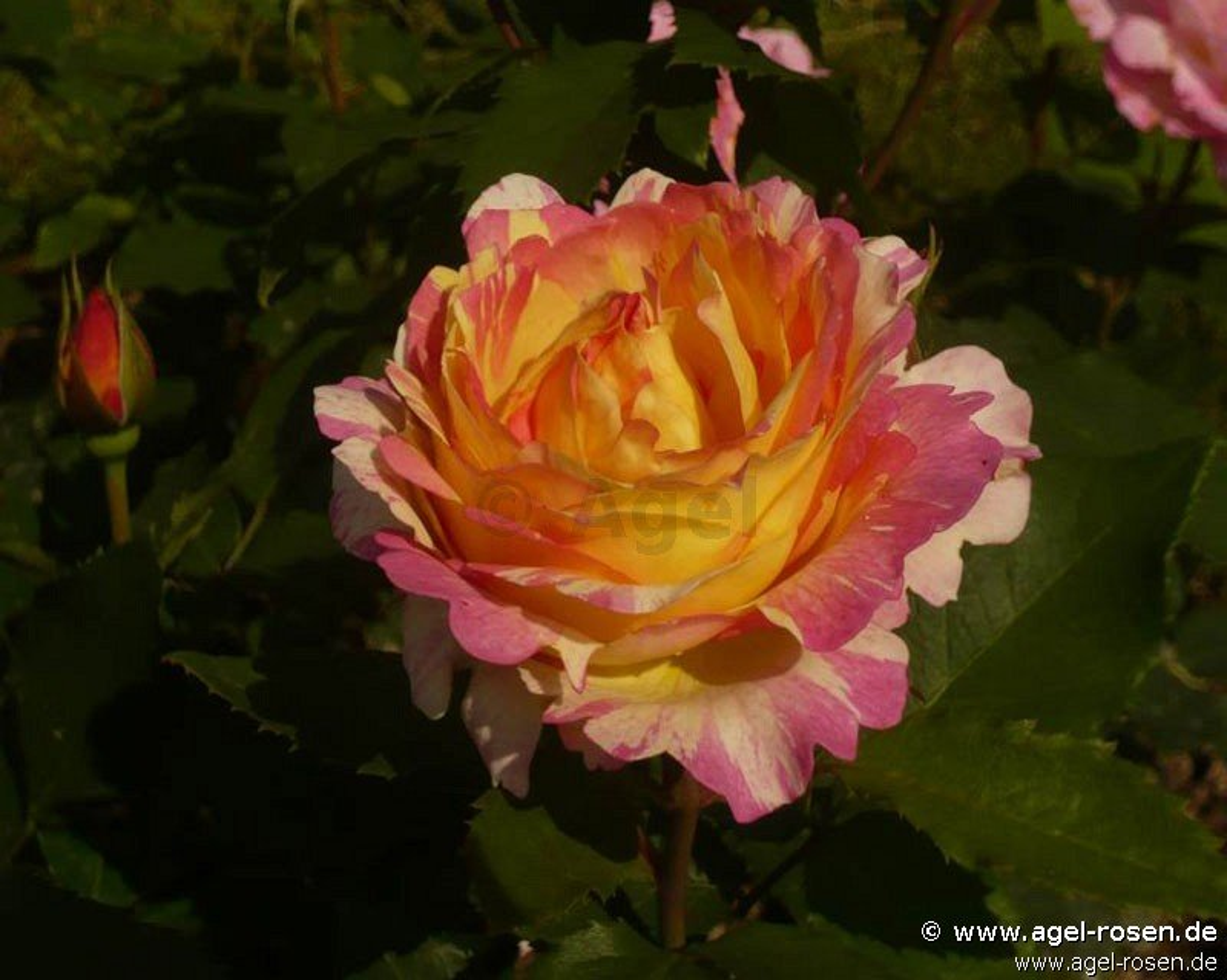 Rose 'Malerrose 'Marc Chagall'' (wurzelnackte Rose)