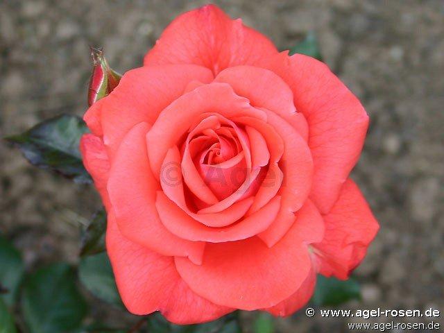 rose piccolo online kaufen agel rosen halbstammrosen 65cm im 8l topf pr sentrose. Black Bedroom Furniture Sets. Home Design Ideas