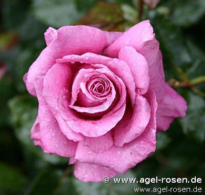 rose shocking blue online kaufen agel rosen. Black Bedroom Furniture Sets. Home Design Ideas