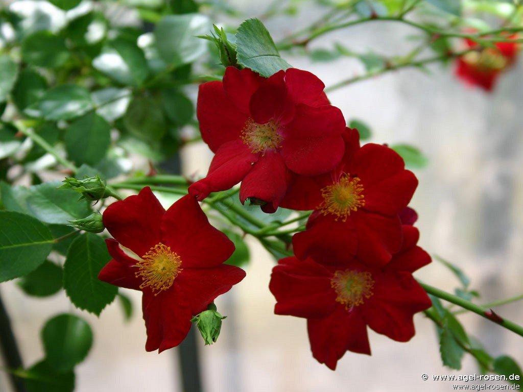 rose alcantara online kaufen agel rosen. Black Bedroom Furniture Sets. Home Design Ideas
