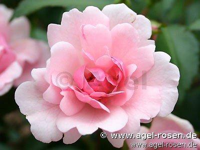dortmunder schönheit rose