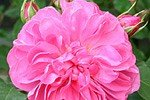 Picture of the rose 'Allegro' (Climbing Rose)