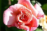 Picture of the rose 'Aloha' (Climbing Rose)