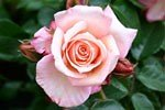 Picture of the rose 'Barock' (Climbing Rose)