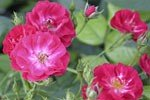 Picture of the rose 'Climbing Alberich' (Climbing Rose)
