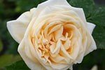 Picture of the rose 'Climbing Lady Hillingdon' (Climbing Rose)