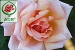 Picture of the rose 'Compassion' (Climbing Rose)