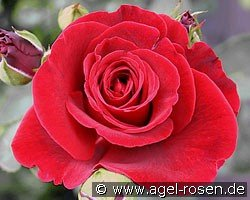 Picture of the rose 'Don Juan' (Climbing Rose)