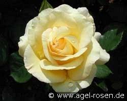 Rose Beatrice de L`Este Foto Agel