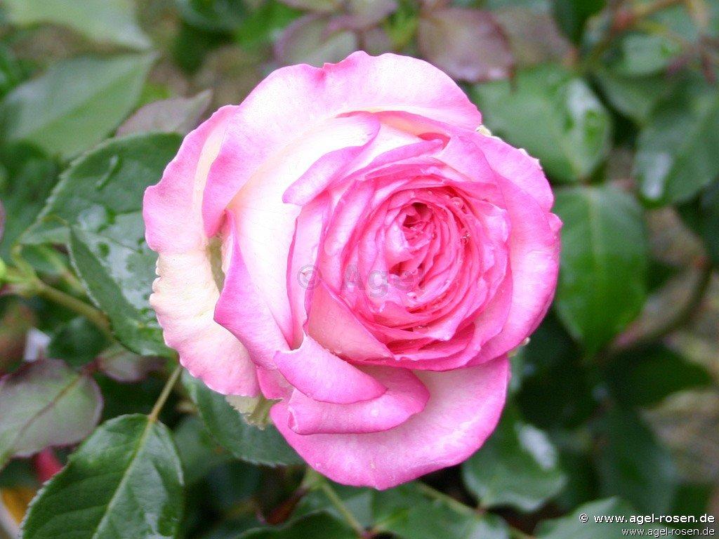 Rose 'Biedermeier Garden' (wurzelnackte Rose)