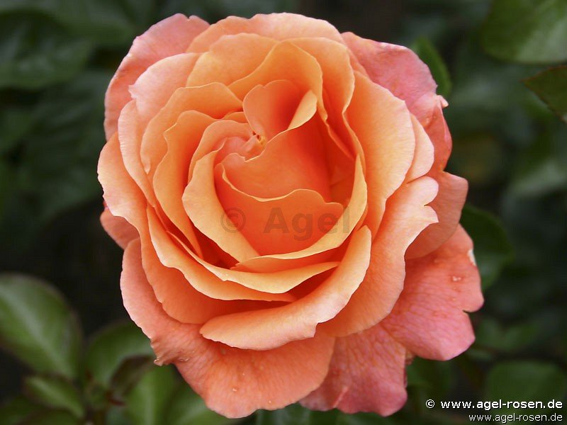 rose cherry brandy online kaufen agel rosen. Black Bedroom Furniture Sets. Home Design Ideas