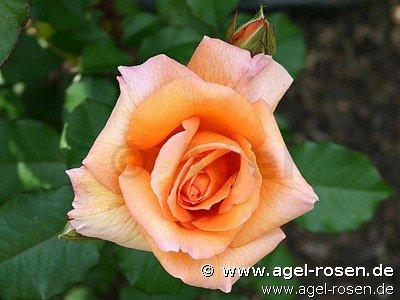 rose doris tysterman online kaufen agel rosen. Black Bedroom Furniture Sets. Home Design Ideas