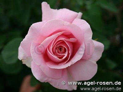 rose frederic mistral online kaufen agel rosen. Black Bedroom Furniture Sets. Home Design Ideas