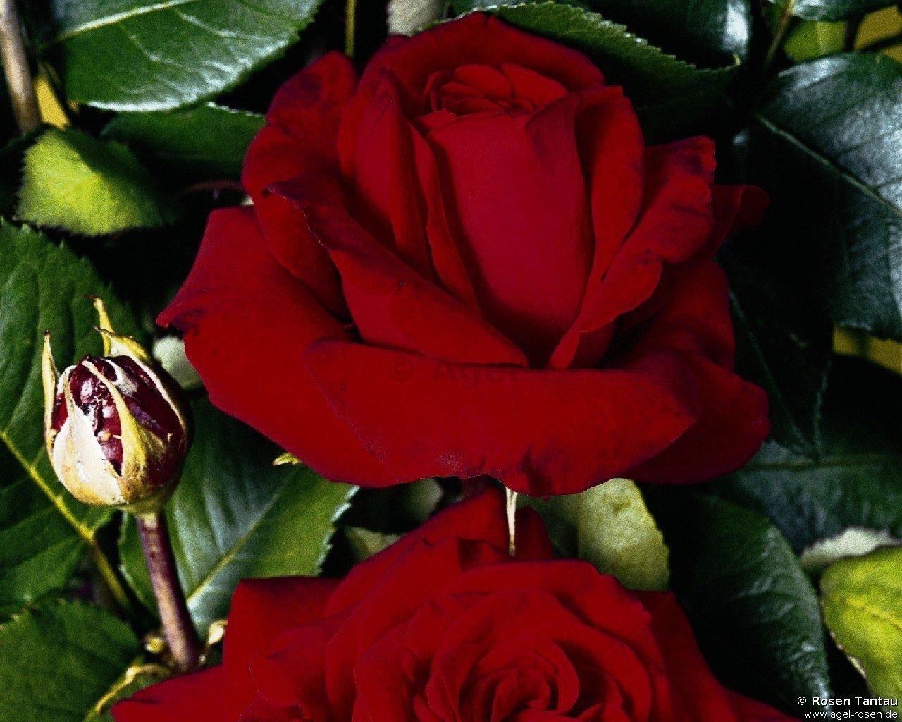 helmut kohl rose edelrose kaufen bei agel rosen. Black Bedroom Furniture Sets. Home Design Ideas
