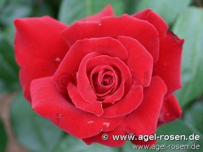 rose ingrid bergman online kaufen agel rosen hochstammrosen 90cm im 5l topf. Black Bedroom Furniture Sets. Home Design Ideas
