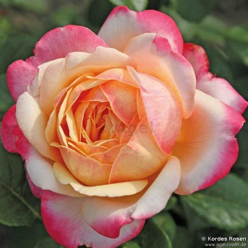 rose kordes jubilee online kaufen agel rosen edelrosen moderne rosen gartenrosen. Black Bedroom Furniture Sets. Home Design Ideas