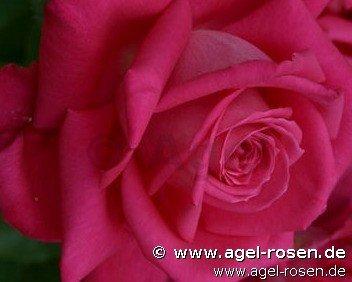 mainauduft edelrose kaufen bei agel rosen. Black Bedroom Furniture Sets. Home Design Ideas
