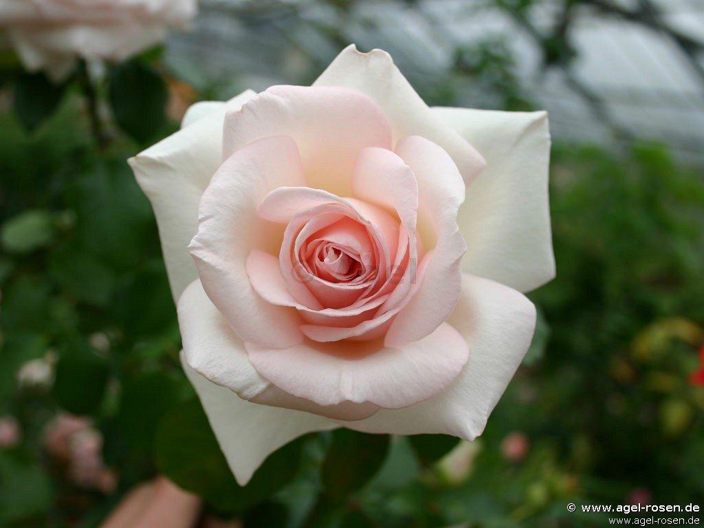 schlo ippenburg edelrose kaufen bei agel rosen. Black Bedroom Furniture Sets. Home Design Ideas