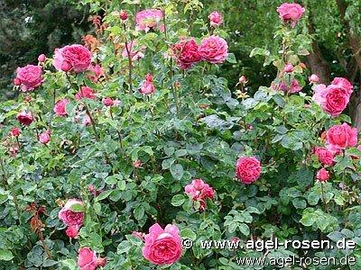 rose auslo online kaufen agel rosen 5 liter topf. Black Bedroom Furniture Sets. Home Design Ideas