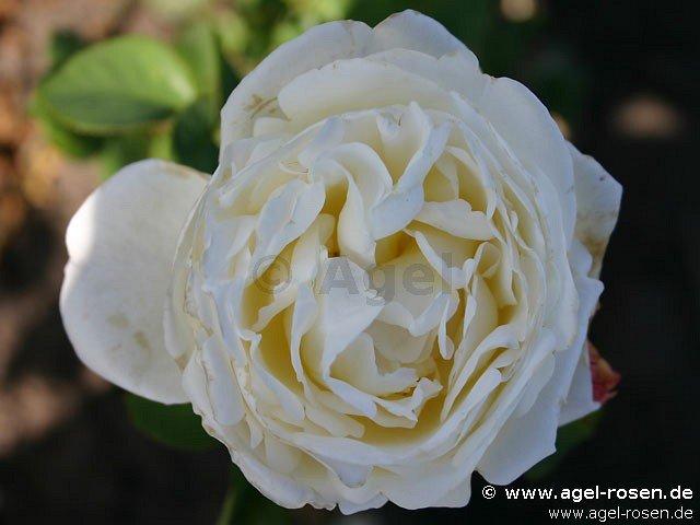 auswebb englische rose kaufen bei agel rosen. Black Bedroom Furniture Sets. Home Design Ideas
