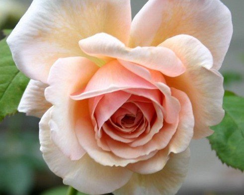Picture of the rose 'A Shropshire Lad' (English Rose)