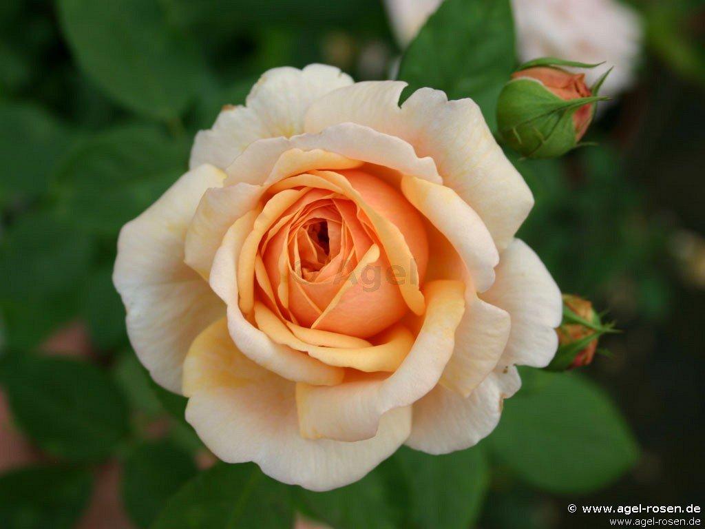 buy rose ausfather online at agel rosen 5 liter pot container roses. Black Bedroom Furniture Sets. Home Design Ideas
