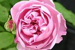 Picture of the rose 'Charles R. Mackintosh' (English Rose)