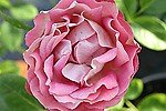 Picture of the rose 'Acropolis' (Floribunda Rose)