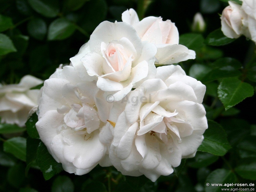 aspirin rose floribunda rose buy at agel rosen. Black Bedroom Furniture Sets. Home Design Ideas