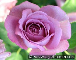 Picture of the rose 'Baltik' (Floribunda Rose)
