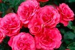 Picture of the rose 'Bordure Magenta' (Floribunda Rose)