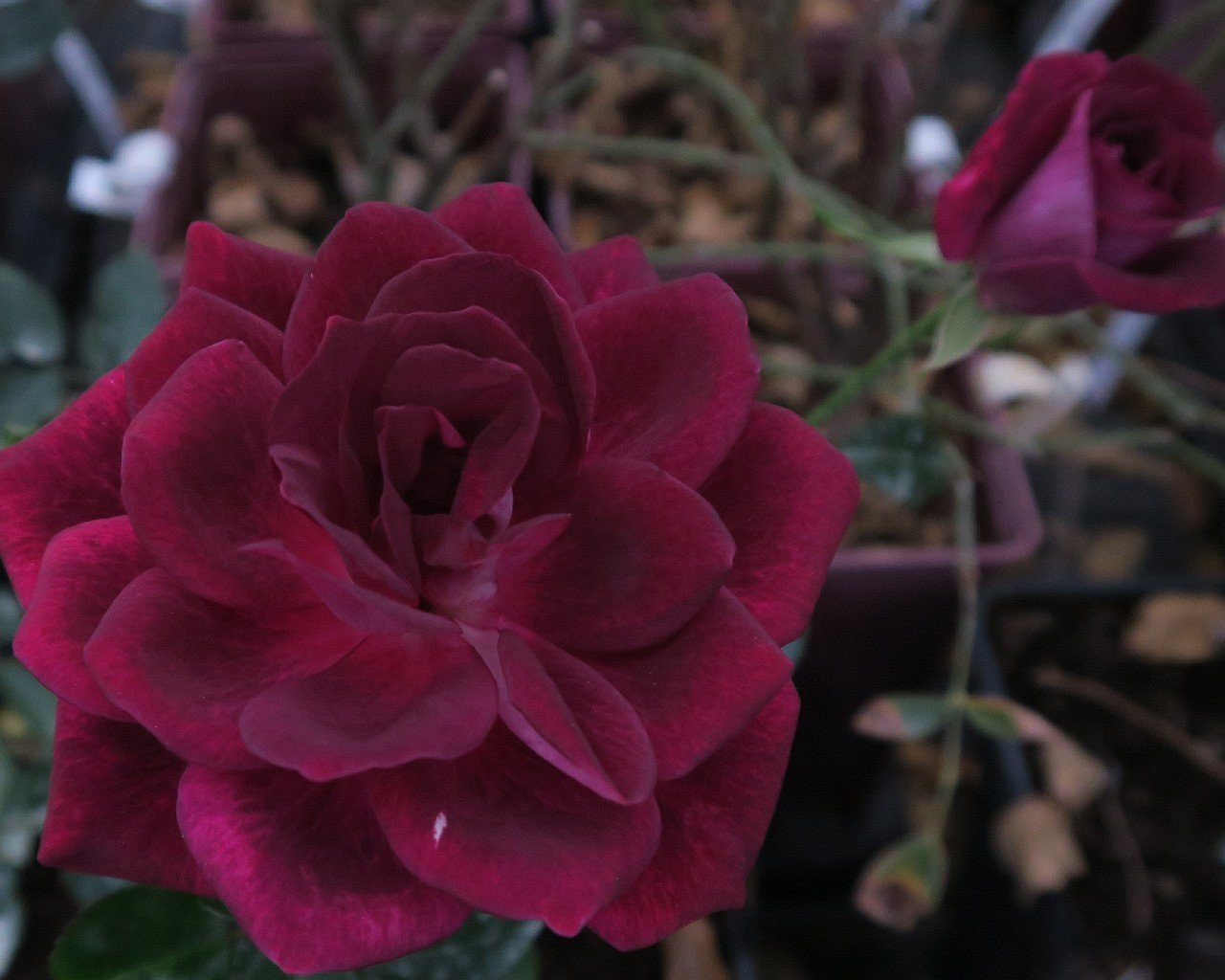 Picture of the rose 'Burgundy Iceberg' (Floribunda Rose)