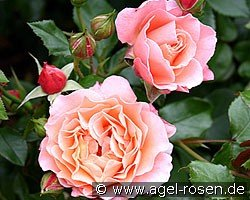 marie curie floribunda rose buy at agel rosen. Black Bedroom Furniture Sets. Home Design Ideas