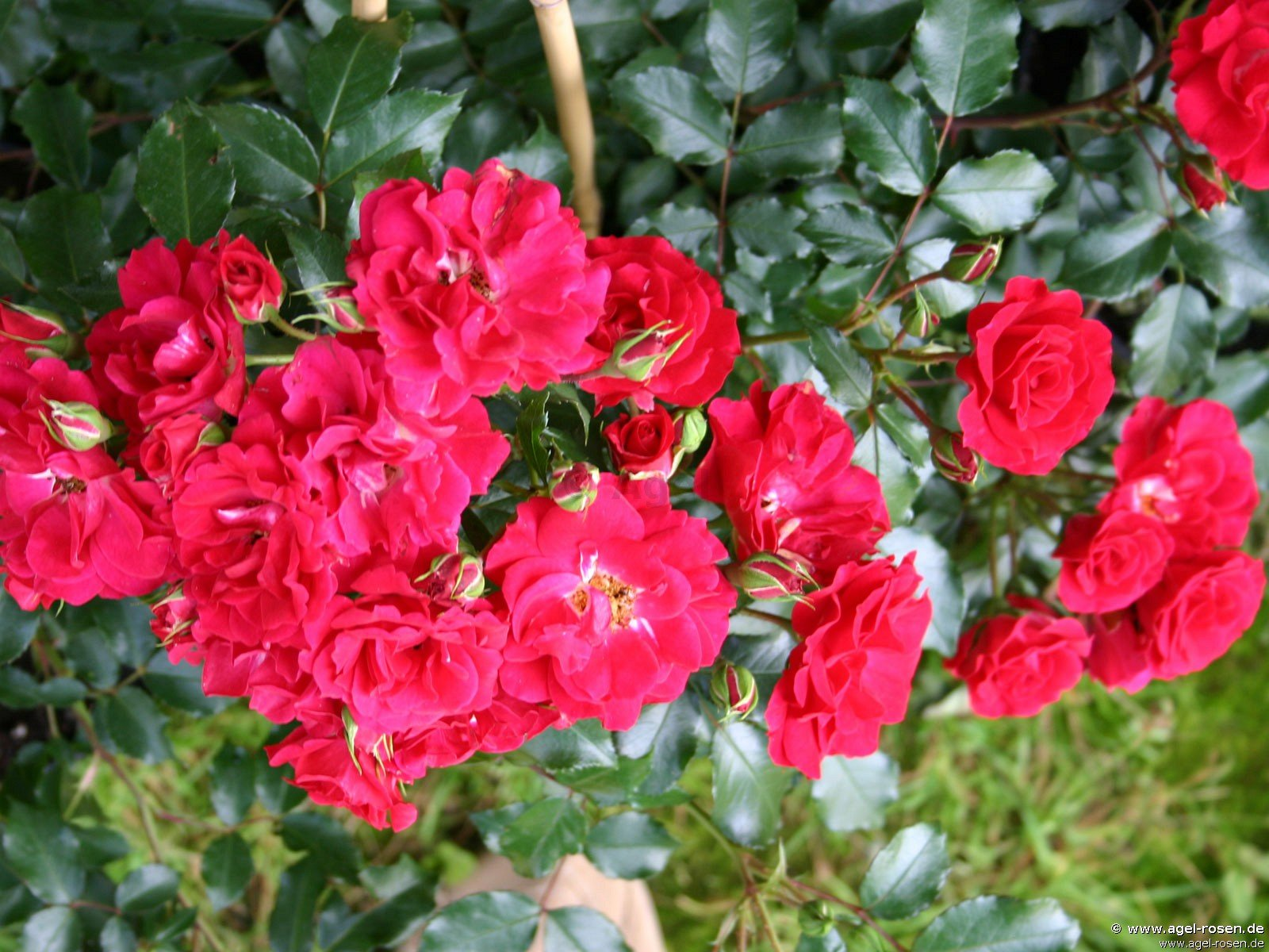buy rose rotilia online at agel rosen miniature tree roses 40cm 5l pot container roses. Black Bedroom Furniture Sets. Home Design Ideas