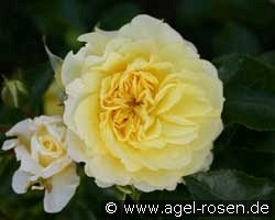 Picture of the rose 'Solero' (Floribunda Rose)