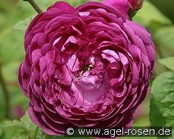 Picture of the rose 'Cardinal de Richelieu' (Gallica Rose)