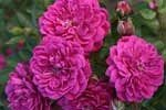 Picture of the rose 'Purple Rain' (Ground Cover Rose)