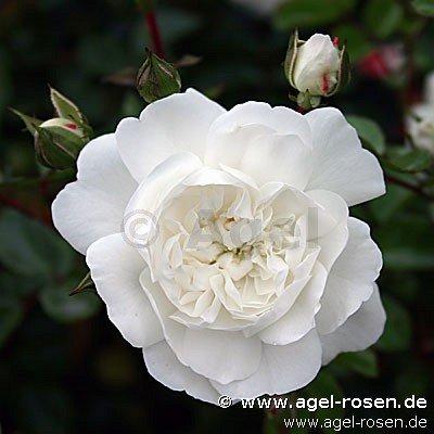 snow ballett ground cover rose buy at agel rosen. Black Bedroom Furniture Sets. Home Design Ideas
