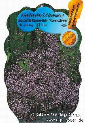 schleierkraut bei agel rosen online kaufen gypsophila hybride 39 rosenschleier 39. Black Bedroom Furniture Sets. Home Design Ideas