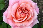 Picture of the rose 'Albrecht Dürer' (Hybrid Tea)