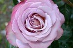 Picture of the rose 'Blue Girl' (Hybrid Tea)