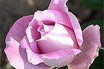 Picture of the rose 'Delphin' (Hybrid Tea)