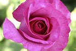 Picture of the rose 'Derby Hagen Gmelin Rose' (Hybrid Tea)